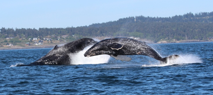 Two Whales Breeching